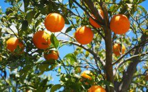 Le arance amare di Rosarno