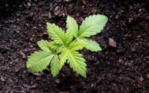 """Coltivazione della cannabis: il 64% degli italiani dice """"sì"""""""
