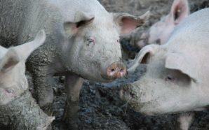 Pandemia e animali, i focolai degli allevamenti industriali
