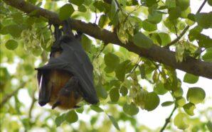La responsabilità della pandemia è davvero dei pipistrelli?